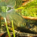 Grayling underwater #keepemwet