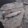 Trucha del rio San Jose en Cordoba pescada con una caña #2