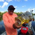 Hungry 10 pounder Açú-pinima, caught at Cupid lake, Amazon Brazil