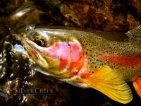 South Fork of the Boise River rainbow. Bryan Huskey photo.