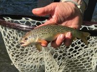 Stream Bred Wild BrownTrout