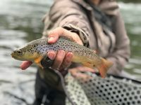 Pa Stream bred BrownTrout