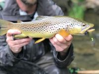 Pa Wild Brown Trout