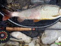 Grayling Fly fishing - Europe No.1 specie
