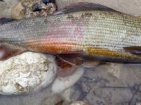 Drop-dead Gorgeous Grayling male of 52cm!