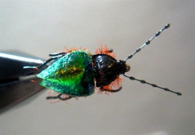 Fly tying - Gaja's Winged Fishing Beetle - Step 47